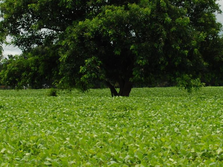 Soybean in Morrinhos